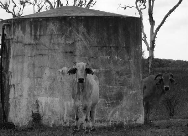 Camo Cow. by Gecko