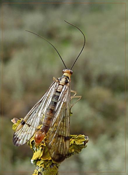 mecoptera by CarolG