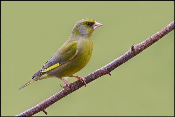 Greenfinch by nonac350d