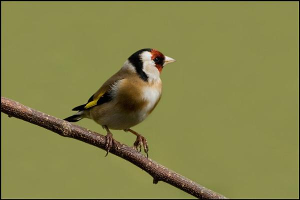 Goldfinch by nonac350d