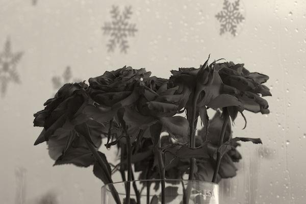 Dead Roses by jonrayner