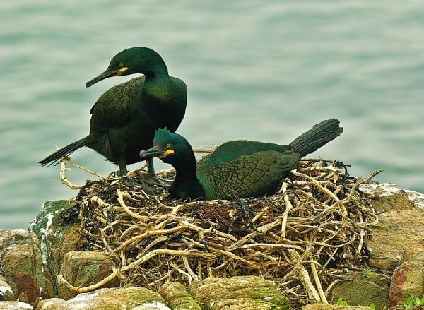 Nesting Shags by GaryMoffat