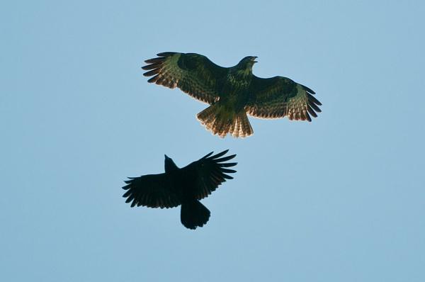 Buzzard & Crow by Andysnapper