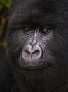 Mountain Gorilla by Tracey_McGovern