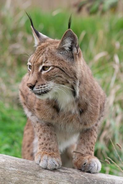 Lynx by rambler