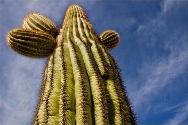 Saguaro Cactus by Daisymaye