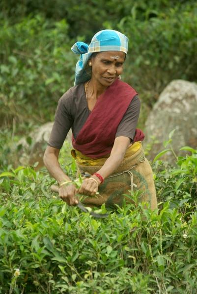 Tea Picker, Sri Lanka by TonyDy