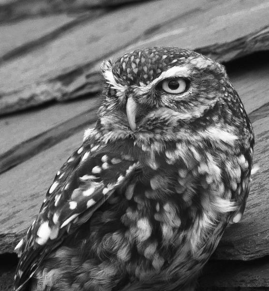 Little Owl by riu