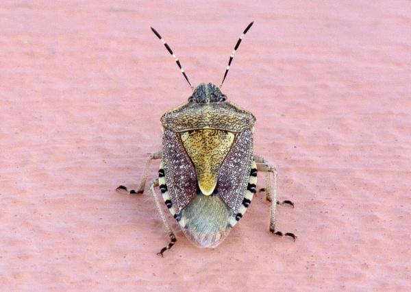 Corfu Shieldbug by Steve Cribbin