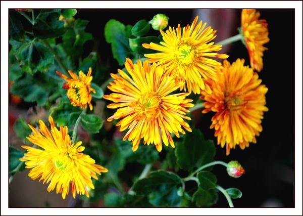 Chrysanthemum by dipsekhar