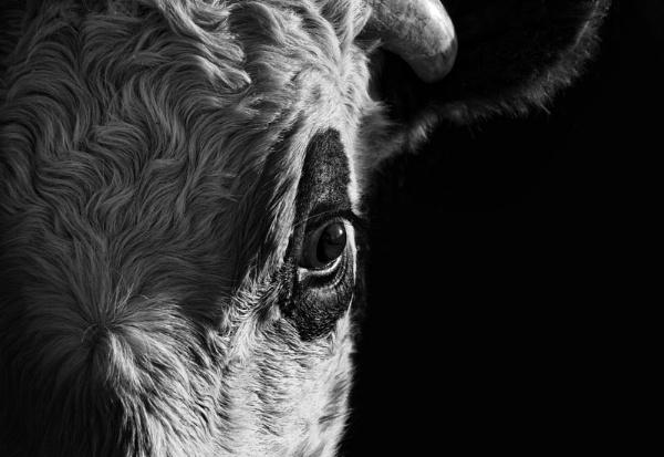 Cows Eye by Audran