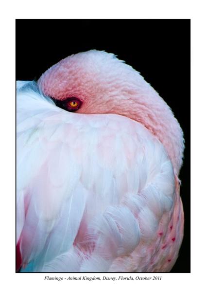 Flamingo by mogseyboy