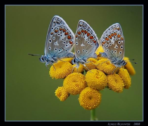 butterflies by ruurd
