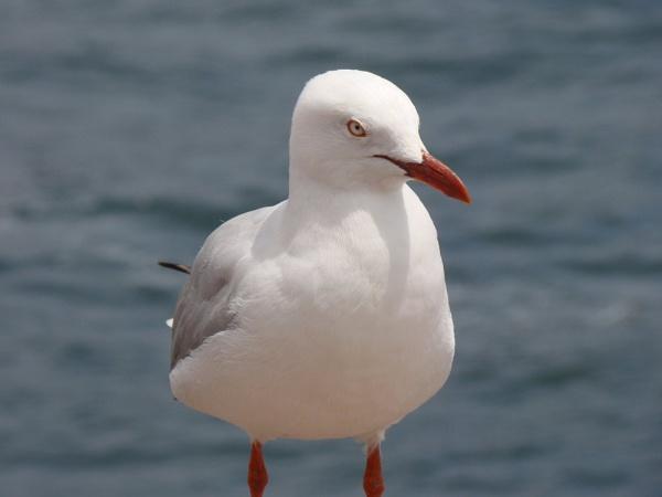 Australian Seagull by trinidadlinda