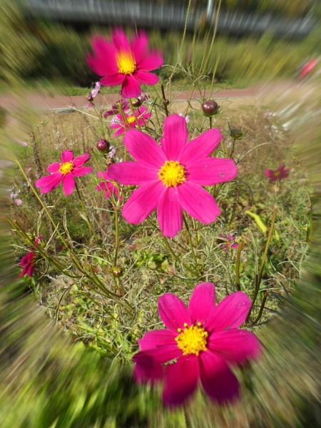 Hot pink flowers by Junipershot