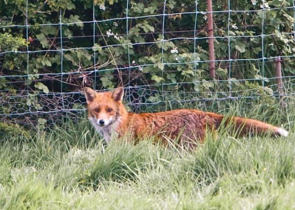 Fox by Hailstone