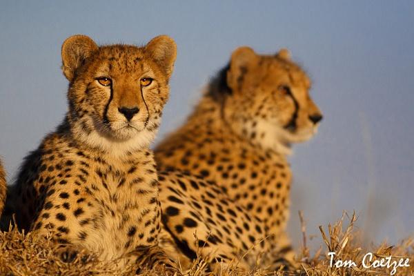 Cheetah portrait by TomCoetzee