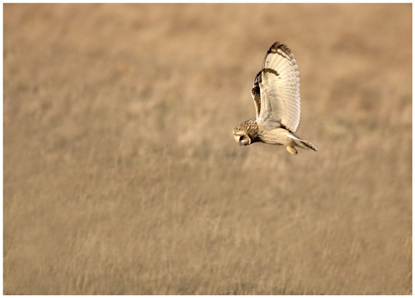 Short-eared Owl by BobbyP