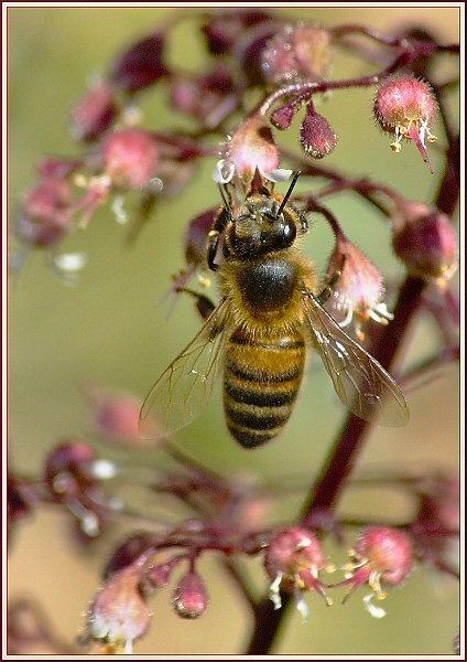 Bee on Heuchera by JPatrickM