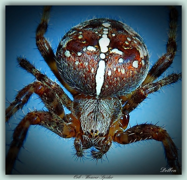 Orb - Weaver Spider by Delbon