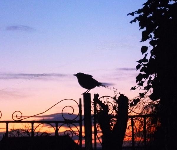 Blackbird  dawn by unicorn17
