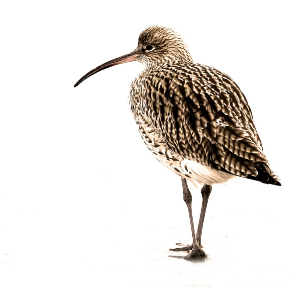Curlew by chunky1972