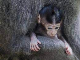 Macaque Baby