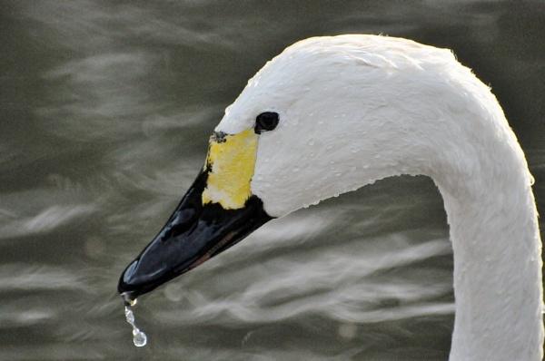 Dripping beak by bertty