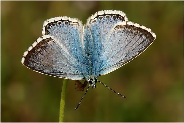 Chalkhill Blue by NigelKiteley