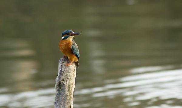 kingfisher by alianar