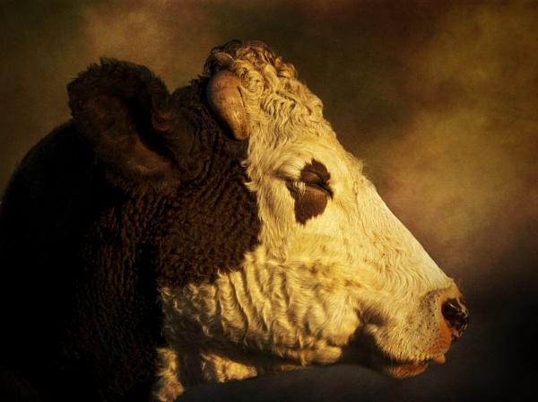Cows Head by Audran