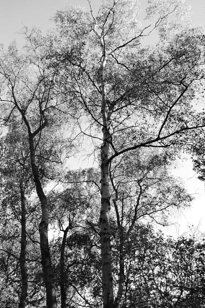 Silver Birch by greenie
