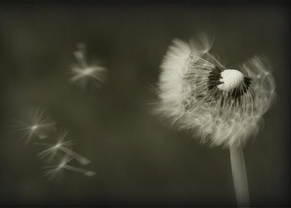 Clock Dandelion - Sepia by perkyjude