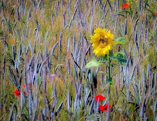 sunflower by thatmanbrian