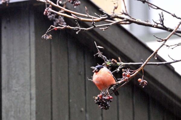Bullfinch. by kuvailija
