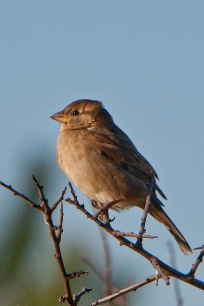 Sparrow by Hailstone