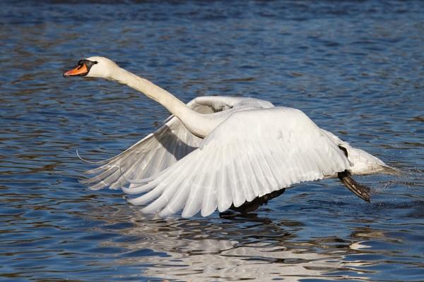 Mute swan taking off, Slimbridge WWT by Skate