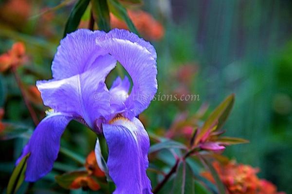 Iris by thvisions