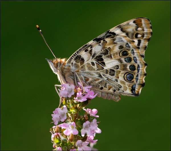 Painted Lady butterfly by SusieH