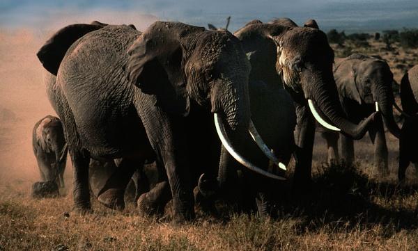 Elephants, Amboseli by lonely_oryx