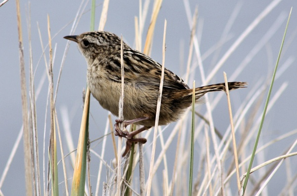 Falkland Grass Wren. by Nick_b