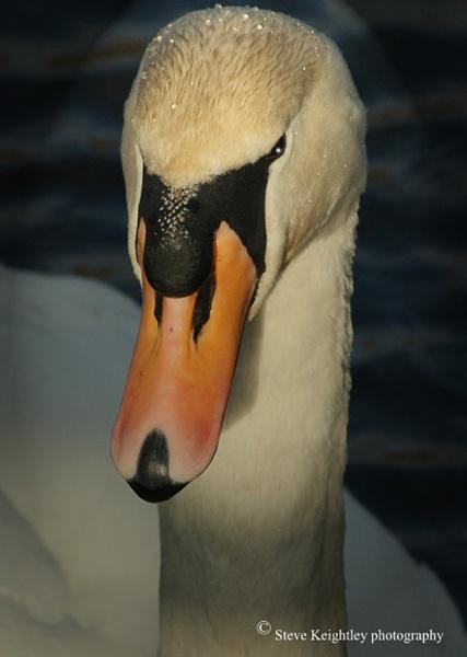 swan by STEVELIN