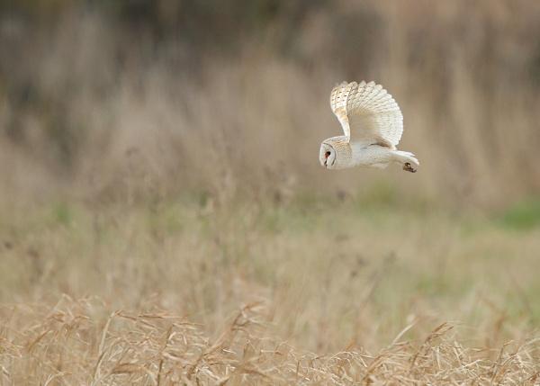 Barn Owl by Karen_Summers