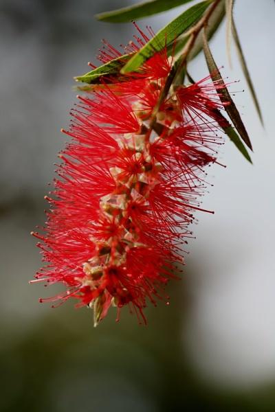 Red flower by bglimaye