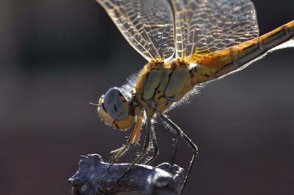Dragonfly by Dilys