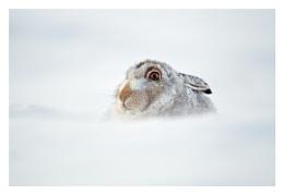 The Christmas hare