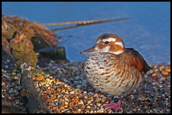 Ringed Teal by M_squared