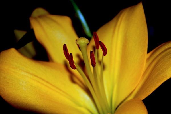 lily by lawsonwazere