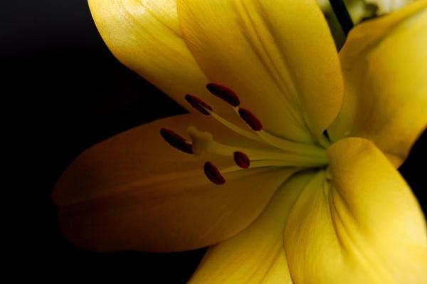 lily 2 by lawsonwazere