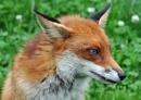 Cunning Mr Fox by McClicker